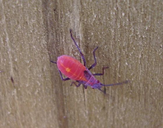 Unknown bug - Boisea trivittata