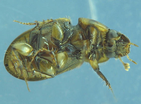 ventral views, dark-sutured aphodiine dung beetle - Aphodius lividus