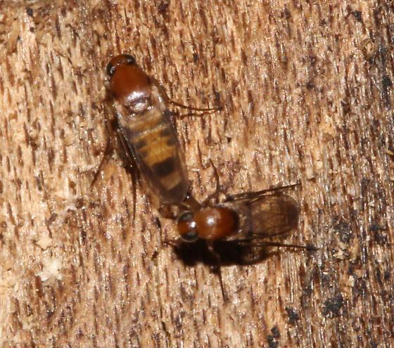 Phoridae