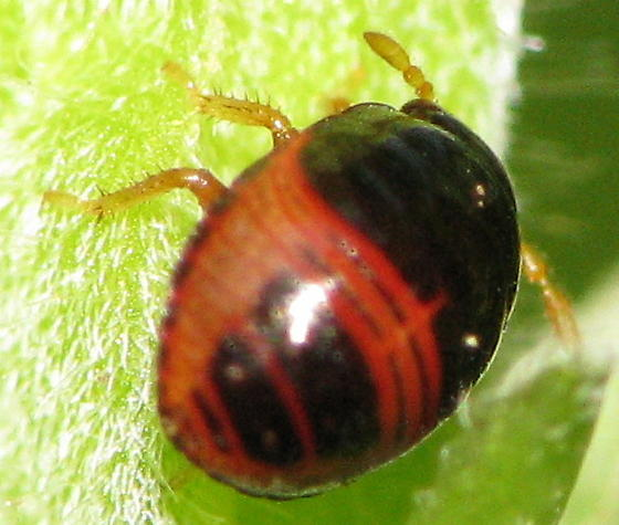 Small true bug nymph