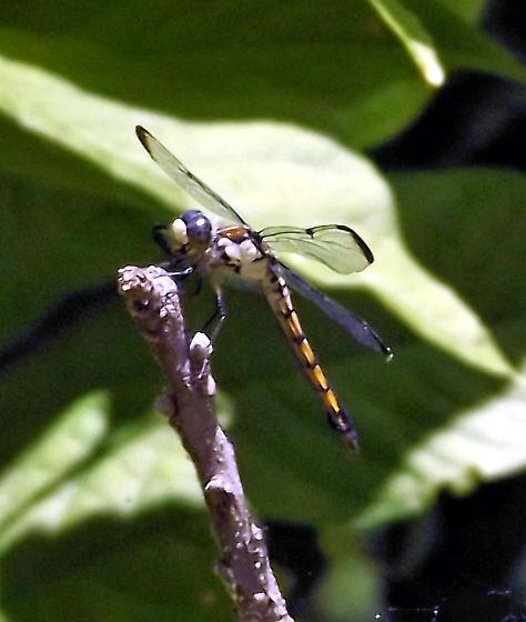 unknown dragonfly - Libellula vibrans