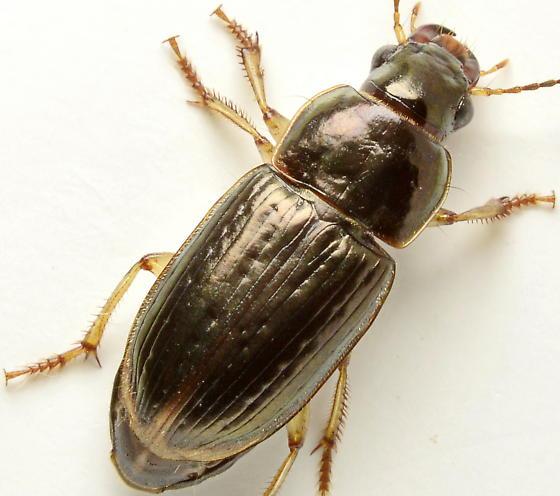 922W10 - Selenophorus palliatus