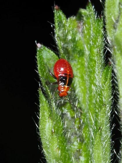 Red-headed Beetle - Poecilocapsus lineatus