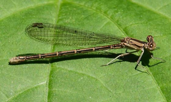 Damselfly - Argia fumipennis