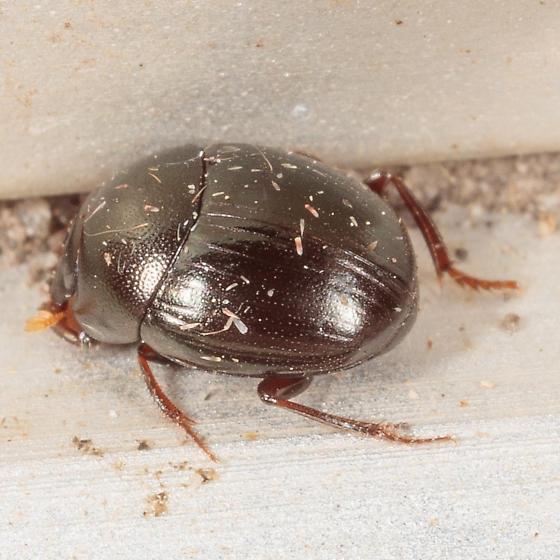 Hybosoridae? - Pseudocanthon perplexus