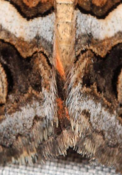 Moth - Drasteria howlandii