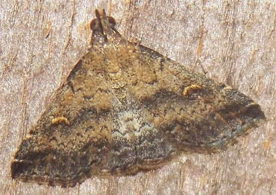 Moth 092614 ID - Tetanolita floridana