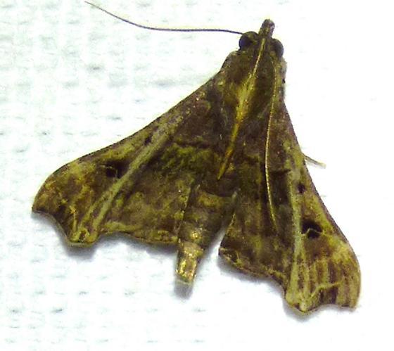Palthis asopialis - Faint-spotted Palthis - Palthis asopialis