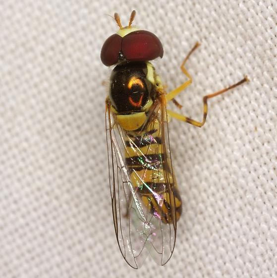 Allograpta obliqua (Say) - Allograpta obliqua - male