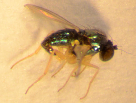 Fly emerging from Tridens flavus stems - Thrypticus violaceus - male