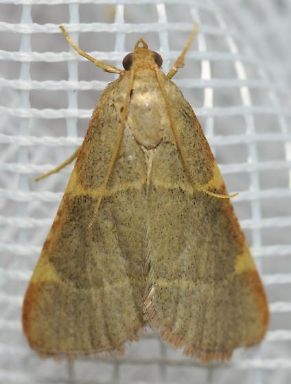 Moth with four yellow notches - Hypsopygia binodulalis
