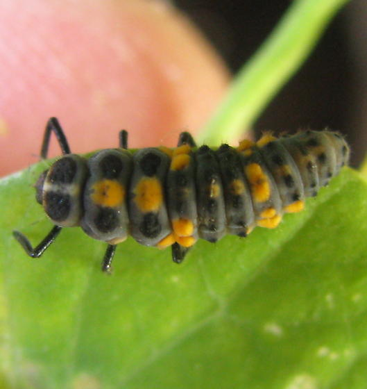 Strange Bug (larva?) - Cycloneda