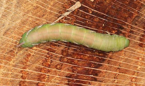 Horned Catapillar - Dolba hyloeus