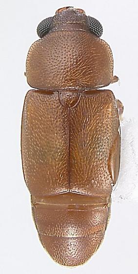 Carpophilus craigheadi Dobson - Nitops craigheadi - male