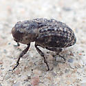 beetle - Thecesternus