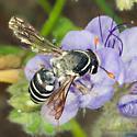Female Pseudomasaris on Phacelia in Anza-Borrego - Pseudomasaris maculifrons - female