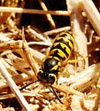 Wasps feeding on coyote carcass. - Vespula pensylvanica