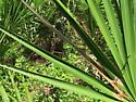 saw palmetto feeder - Homaledra sabalella