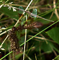Type of Dragonfly? - Perithemis tenera