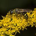 Ectemnius sp. ? - Ectemnius maculosus