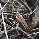 Stenocorus maybe - Cephaloon tenuicorne