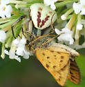 Crab Spider with Fiery Skipper - Misumenoides formosipes - female