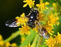 Syrphid Flies Genus Pipiza Female - Pipiza - female