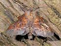 Unknown Moth - Phyllodesma americana