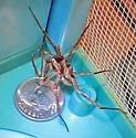 Palm Coast FL Spider - Ctenus captiosus