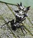 I was almost wearing this . .  - Micrathena gracilis