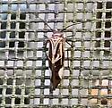 Cerastipsocus venosus - Tree Cattle - Cerastipsocus venosus