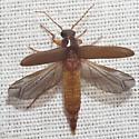 Fancy Click Beetle - Selonodon