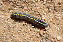 Caterpillar ID? - Sympistis