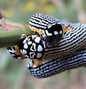 Looking for caterpillar ID - Phosphila turbulenta