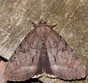 obscure underwing - Catocala obscura