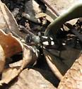 Tiger Beetle? - Arhaphe cicindeloides