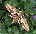 Moth Magic - Hyles euphorbiae