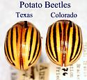 Texas & Colorado Potato Beetles - Leptinotarsa texana