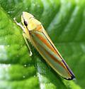 Leaf Hopper - Graphocephala fennahi