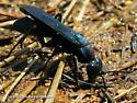 Pompilidae (Spider Wasps) - Aporus - Aporus