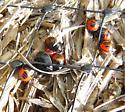 True bug mystery solved? - Sehirus cinctus