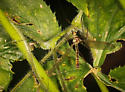 Crane Fly -  Dolichopeza walleyi - Dolichopeza walleyi - male