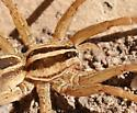 A wolf spider - Rabidosa santrita