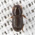 Dung Beetle ? - Platytomus