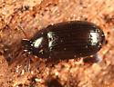 Tenebrionid - Neomida bicornis - male