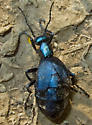 Oil Beetle - Meloe - female
