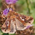 Butterfly - Megalographa biloba