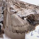 Evergestis funalis - Evergestis