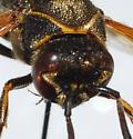 Unknown Vespid - Pachodynerus nasidens
