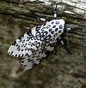 leopard moth? - Hypercompe scribonia